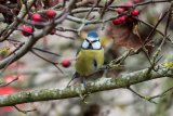 Blue tit amongst the berries
