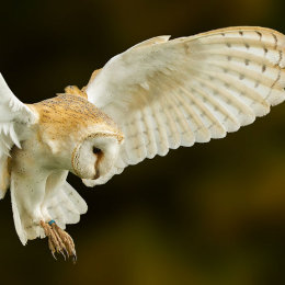 1 Barn Owl