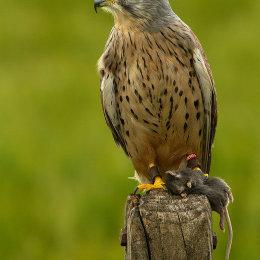 1) Merlin