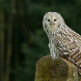 2) Ural Owl