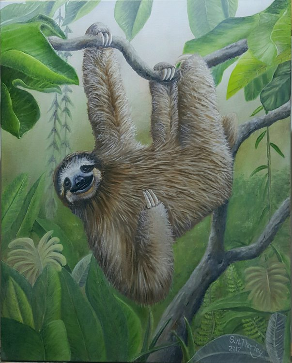 """Just Hangin' Around"" A three toed, brown throated Sloth in the Amazon rainforest of Brazil. Oil on Canvas 20"" x 16"" By Steve Thorley"