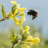 Bee & Flower-6633