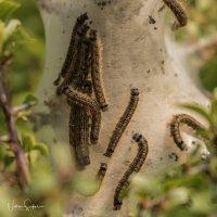 Caterpillars -7184