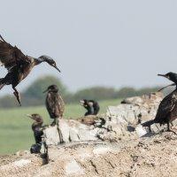 Cormorant landing in group-7618