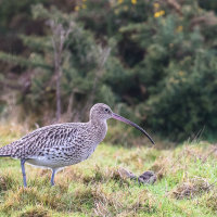 Curlew-4528