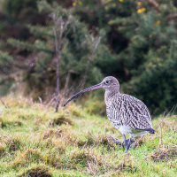 Curlew-4534