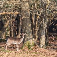 Fallow Deer Burley-3382