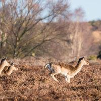 Fallow Deer on the run-4202