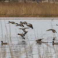 Flying Ducks-8882