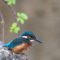 Kingfisher -2520