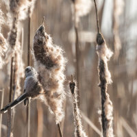 Long Tailed Tit -3560