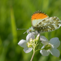 Orange Tip Butterfly-0539