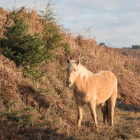 Palomino New Forest Pony-3089