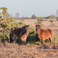 Ponies Ibsley Common CB4A1264