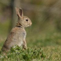 Rabbit sat up-7846