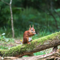 Red Squirrel-1120