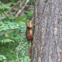 Red Squirrel-1085