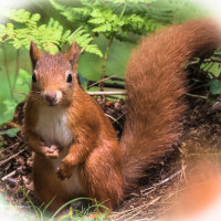 Red Squirrel-1196