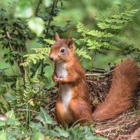Red Squirrel 10 x 10 image-1197