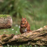 Red Squirrel 1157