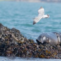 Seal & Gulls-7553