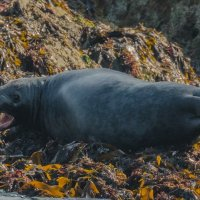 Seal mouth open-7540