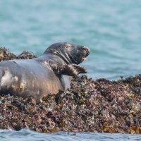 Seal tongue out-7568