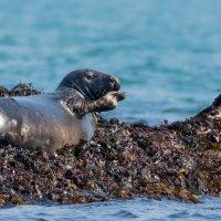 Seal waving -7566