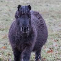 Shetland Pony-3481