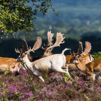 White Fallow Buck & Herd 1 untitled-