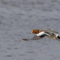 Wigeon Landing 2-4621