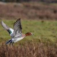 Wigeon in flight-4616