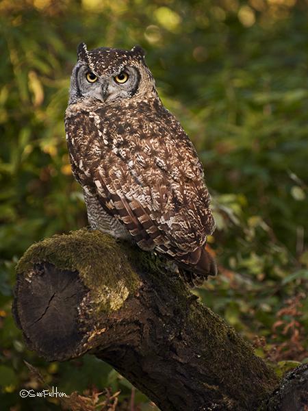 African Eagle Owl - Bubo Africanus
