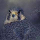 Peregrine x Prairie Falcon