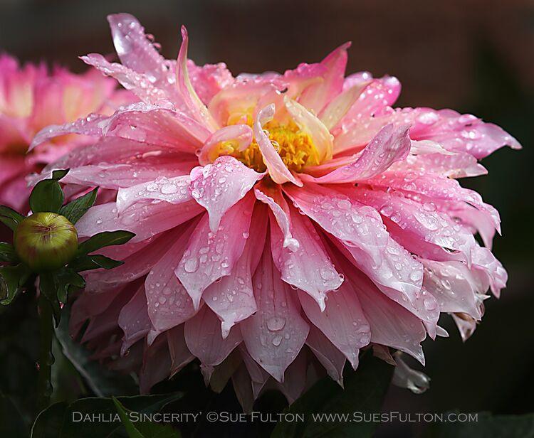 Dahlia 'Sincerity'
