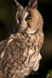 Long Eared Owl - Asio Otus