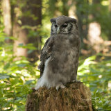 Milky Eagle Owl