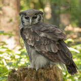 Verreaux's Eagle-Owl -Milky Eagle Owl - Bubo Lacteus