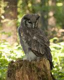 Verreauxs Eagle Owl Milky Eagle Owl - Bubo Lacteus