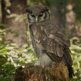 Verreaux's Eagle-Owl - Milky Eagle Owl - Bubo Lacteus