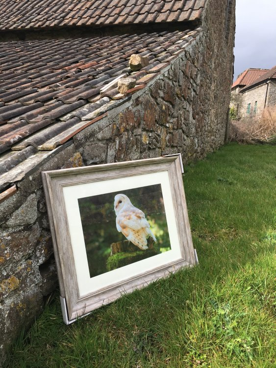 Found a suitable barn at which  to photograph my Barn Owl print, available to purchase, with or without frame.