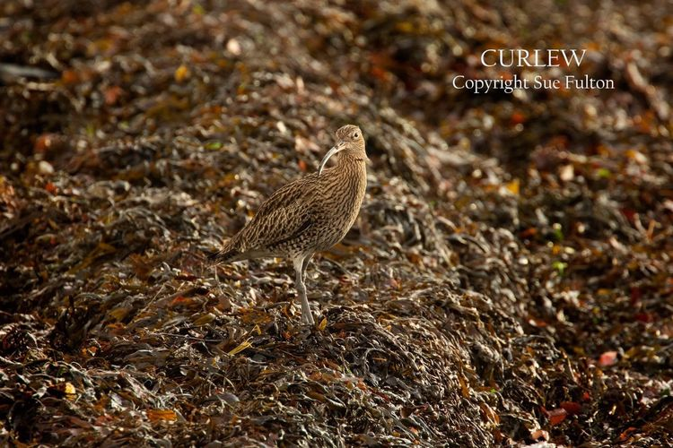 Curlew camouflaged