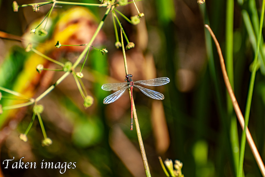 Dragonfly #1