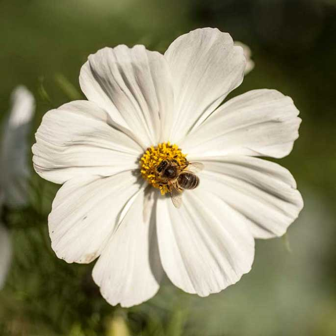 White Flower with Bee