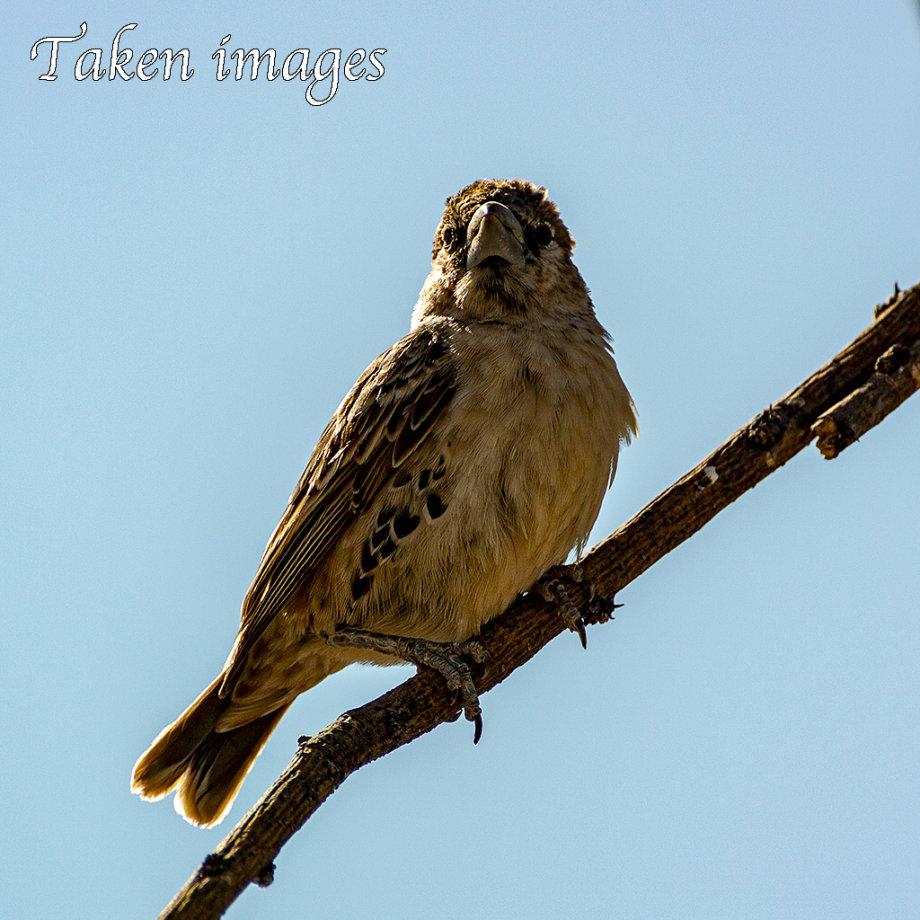 Sociable Weaver (Philetairus socius)