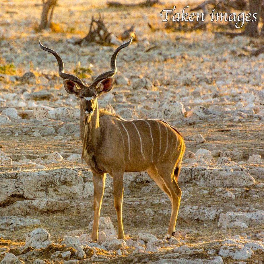 Great Kudu (Tragelaphus strepsiceros)