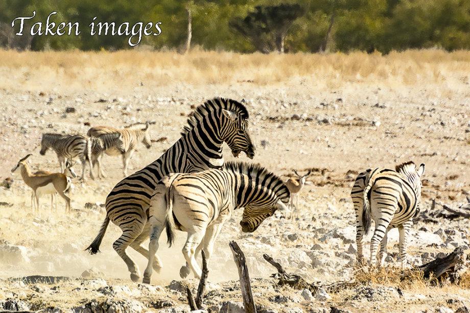 Burchell's Zebra (Equus quagga burchelli)