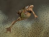 Frog in spawn 1