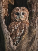Tawny owl in his hole