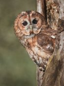 Tawny owl peeping out of his hole
